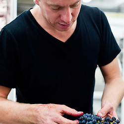 London, UK - 15 October 2013: winemaker Gavin Monery sorts and cut outs rotten raisins of newdly received Barbera at at the new London Cru urban winery.