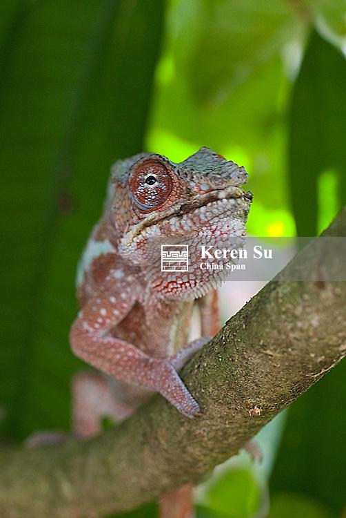 Brown Chameleon., Madagascar
