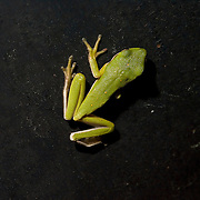 American Green Tree Frog, Hyla cinerea