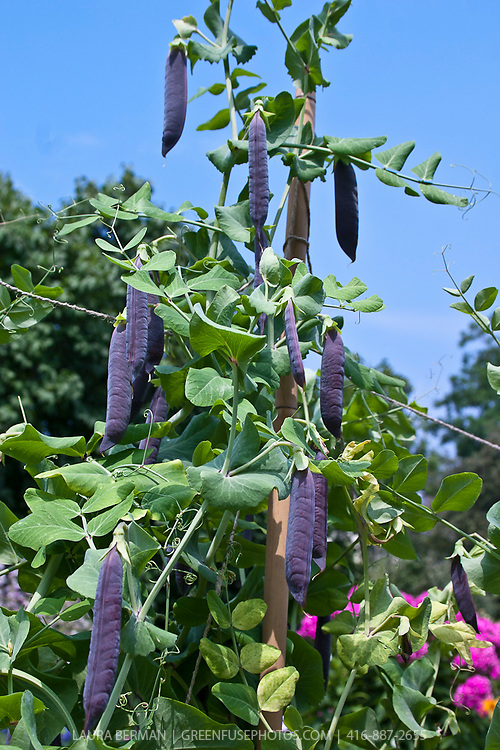 Blue or purple podded heritage peas growing in a garden.