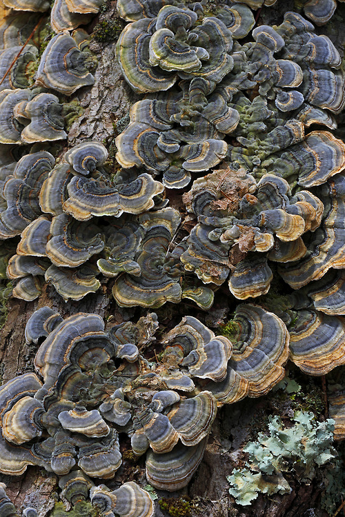 http://juergen-roth.pixels.com/featured/turkey-trail-mushrooms-juergen-roth.html &lt;&lt;&lt; &quot;Buy a Print&quot; - Macro photography of turkey trail mushrooms are available as museum quality photography prints, canvas prints, acrylic prints, wood prints or metal prints. Fine art prints may be framed and matted to the individual liking and room decor needs.<br /> Macro photograph of this fungi was taken at the Wollomonopoag Conservation Area in Wrentham, MA. <br /> Good light and happy photo making!<br /> <br /> My best,<br /> <br /> Juergen<br /> Licensing: http://www.rothgalleries.com<br /> Photo Prints: http://fineartamerica.com/profiles/juergen-roth.html<br /> Photo Blog: http://whereintheworldisjuergen.blogspot.com<br /> Instagram: https://www.instagram.com/rothgalleries<br /> Twitter: https://twitter.com/naturefineart<br /> Facebook: https://www.facebook.com/naturefineart