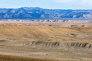 A lonely cow grazes on scrub brush and brown grass, tiny and insignificant against the huge desert landscape surrounding the Book Cliffs region of Utah.