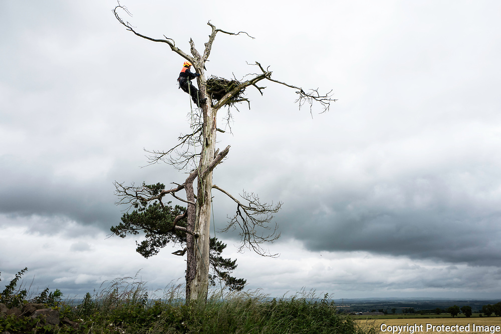 A licensed bird ringer climbs an isolated Scots Pine tree to access an Osprey nest in the Scottish Borders.