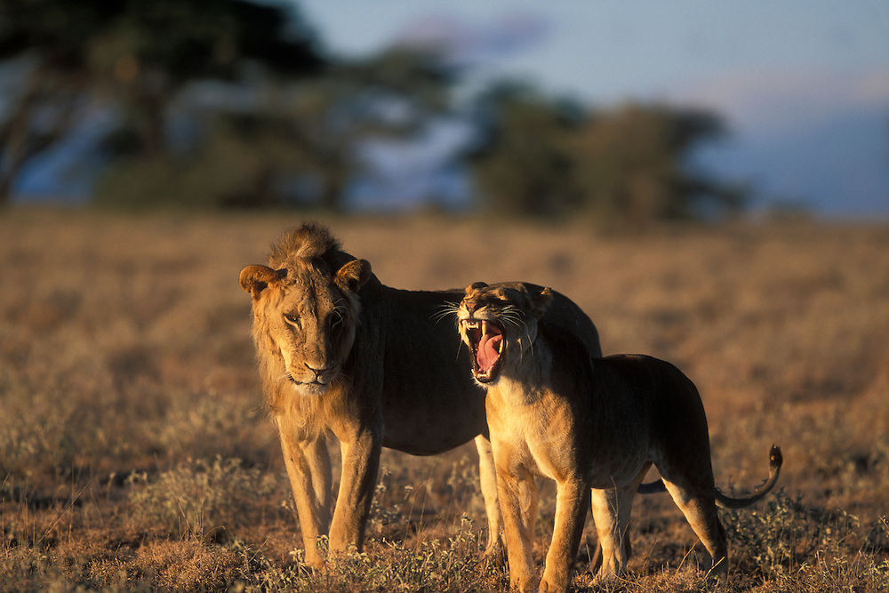 Africa, Kenya, Buffalo Springs National Reserve, Adult Male Lion (Panthera leo) standing by Lioness during mating