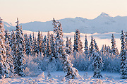 Alaska, forest in snowy winter with black spruce trees (Picea mariana)