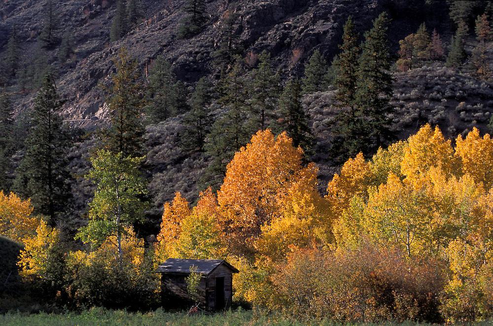 Aspens in fall color near Cache Creek, British Columbia, Canada