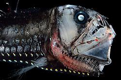 [captive] Deep Sea Viperfish (Chauliodus sloani), Deep Sea fish, Atlantic Ocean close to Cape Verde   Tiefsee Fisch   Mit den langen Zähnen kann der Vipernfisch (Chauliodus sloani) seine Beute packen und festhalten. Ist diese aber zu groß, so dass er sie weder verschlingen noch wieder ausspucken kann, stirbt er mit der Beute im Maul. (Atlantik)