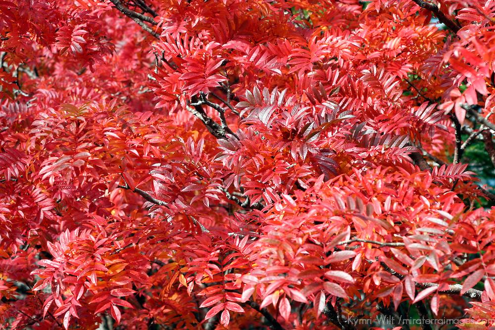 Asia, Japan, Hakone. Fall colors of the Fuji-Hakone-Izu National Park.