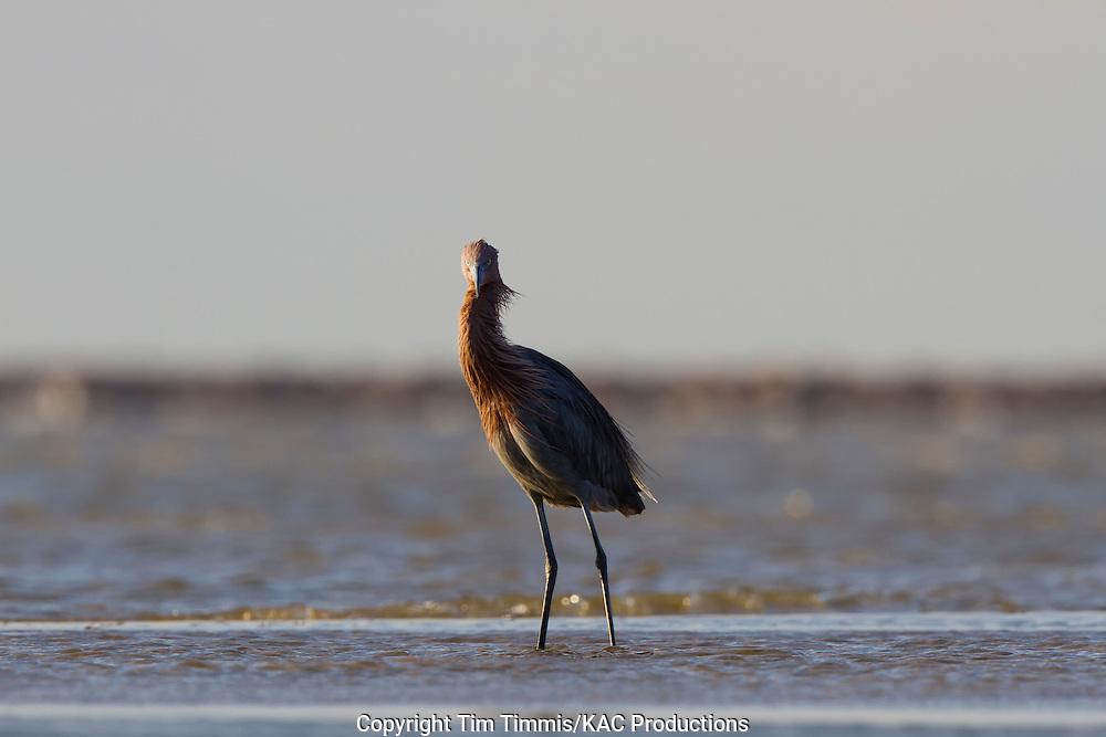 Reddish Egret, Egretta rufescens, Bolivar Flats, Texas gulf coast, standing in water, eye contact, windy, waves