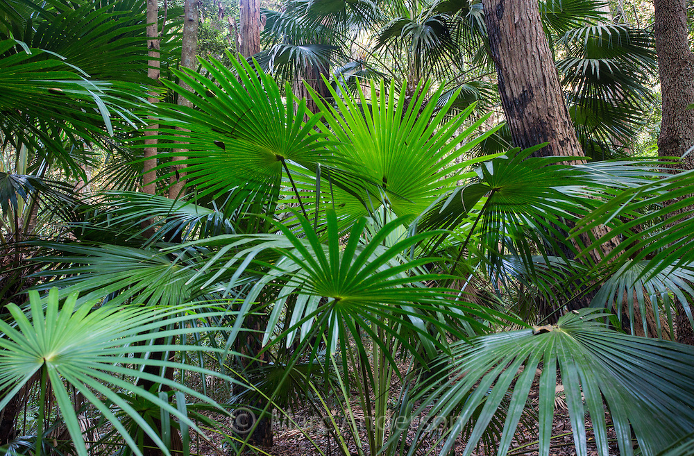 Cabbage-tree Palms (Livistona australis) growing in temperate rainforest in the Royal National Park, Australia