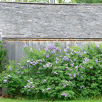 SYRINGA VULGARIS (COMMON LILAC) AND OLD BARN
