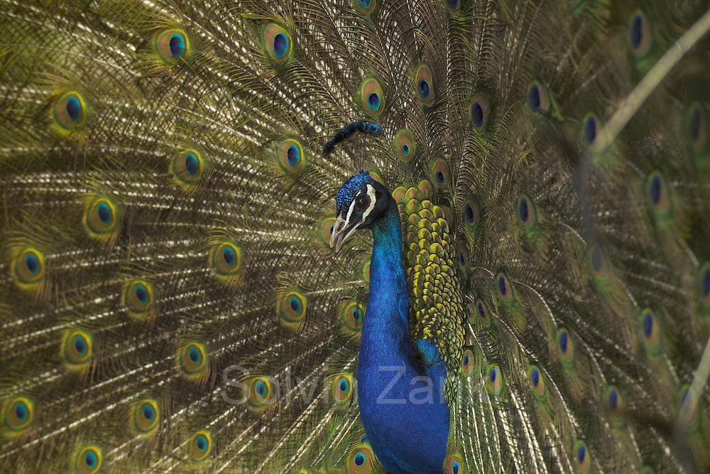 Peacock displaying close up {Pavo cristatus} | Der Pfau stammt ursprünglich aus Indien, wo er im Urwald lebt. Nur während der Balz schlägt der männliche Pfau sein Rad. Indem er den Federschmuck vibrieren lässt, verstärkt er noch die Wirkung auf die Hennen. Eigentlich sind die langen Federn für das Männchen ein Hindernis – für das Weibchen jedoch sind sie ein Indiz für einen gesunden Partner, der wiederum lebensfähigen Nachwuchs verspricht.