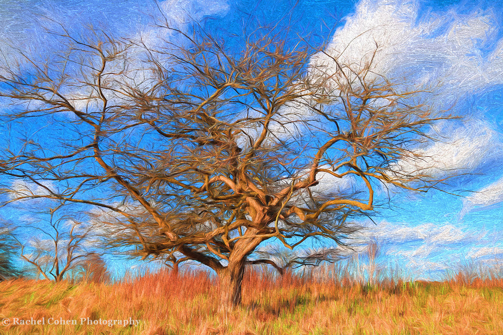 &quot;Spring Tree Painting&quot;<br /> <br /> Beautiful golden tones in this twisted lone tree on golden grass, set against blue skies with puffy white clouds! A lovely digital oil painting!