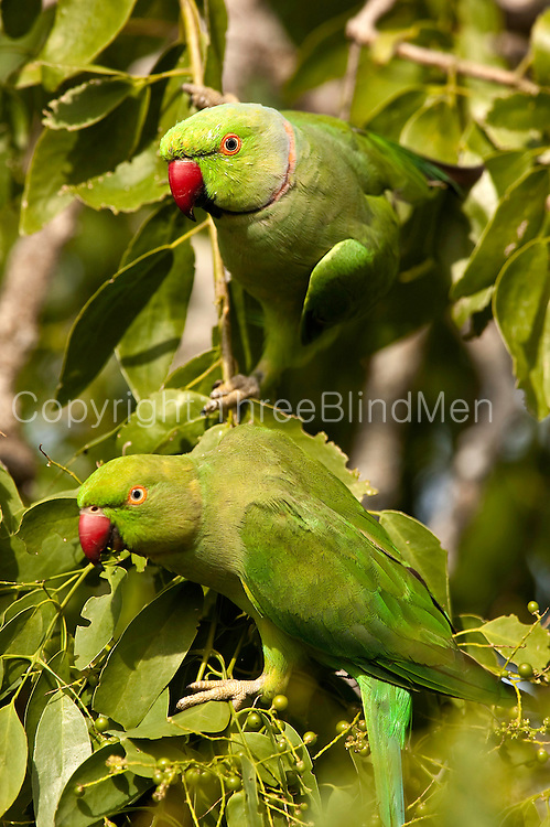 Rose-ringed Parakeet. Sri Lanka