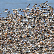 A very large flock of shorebirds, mainly Dunlin (Calidris alpina) displaying breeding plumage, fly at high tide over the Bowerman Basin, located in the Grays Harbor National Wildlife Refuge in Washington state. More than 30,000 shorebirds pass through the refuge each spring on their way to breeding grounds in the far North.