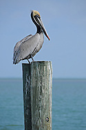 The brown pelican is the smallest of seven species of pelicans found in the world. Unlike all other pelicans, the brown pelican dives for its prey by hovering from heights up to 60 feet, then collapsing its wings and plunging headfirst into the water to capture minnows and herring.