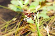 Celithemis elisa (Calico Pennant) - male and female in copula<br /> ARKANSAS: Montgomery Co.<br /> Caddo Pond; 7 km NE of Glenwood<br /> N34.37441 W93.50017 220 m 16.June.2009<br /> J.C. Abbott #2397