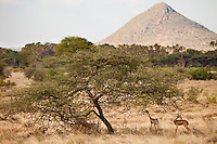 Gerenuks in Samburu, Kenya