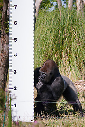 File picture: ZSL London, August 21st 2014. Kumbuka the silverbacked gorilla ponders the height scale in his enclosure as ZSL London holds its annual animal weigh and measure day to update their databases. The gorilla escaped from its enclosure on the evening of October 13th 2016, prompting an armed police response before ZSL staff managed to tranquilise him and return him to his enclosure.