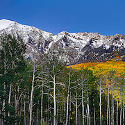 SHOT 10/2/14 7:06:19 PM - Aspen leaves changing colors along the  Kebler Pass with a backdrop of snow covered mountain peaks just outside of Crested Butte, Co. Aspens are trees of the willow family and comprise a section of the poplar genus, Populus sect. Populus. The Quaking Aspen of North America is known for its leaves turning spectacular tints of red and yellow in the autumn of the year (and usually in the early autumn at the altitudes where it lives). This causes forests of aspen trees to be noted tourist attractions for viewing them in the fall. These aspens are found as far south as the San Bernardino Mountains of Southern California, though they are most famous for growing in Colorado. Autumn leaf color is a phenomenon that affects the normally green leaves of many deciduous trees and shrubs by which they take on, during a few weeks in the autumn months, one or many colors that range from red to yellow. The phenomenon is commonly called fall colors and autumn colors, while the expression fall foliage usually connotes the viewing of a tree or forest whose leaves have undergone the change. In some areas in the United States &quot;leaf peeping&quot; tourism between the beginning of color changes and the onset of leaf fall, or scheduled in hope of coinciding with that period, is a major contribution to economic activity.<br /> (Photo by Marc Piscotty / &copy; 2014)