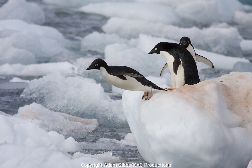 Adelie penguin, Antarctica, Pygoscelis adeliae, Paulet Island, pair, jumping.