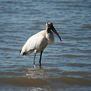 A Stork, searching for food in the surf.