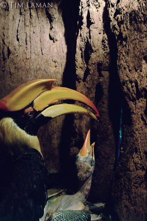 Great Hornbill (Buceros bicornis) female inside her nest cavity in a hollow tree, with chick.  Female passes food brought by the male to the chick.   IUCN Red List: Near Threatened.