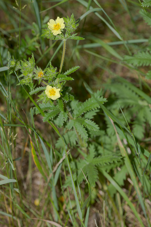 Rought-fruited Cinquefoil plant and flowers (Potentilla recta)