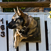 A German Shepherd dog squeezes through a window in a white fence at Harpers Ferry, West Virginia, USA. Harpers Ferry is a historic town in Jefferson County, West Virginia, one of the few towns directly traversed by the Appalachian Trail. The town contains both Harpers Ferry National Historical Park and the populated Harpers Ferry Historic District (higher above the flood plain), at the confluence of the Potomac and Shenandoah Rivers where the US states of Maryland, Virginia, and West Virginia meet. Historically, Harpers Ferry is best known for John Brown's raid on the Armory in 1859 and its role in the American Civil War.