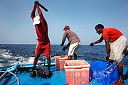 A fisherman from the Maldives clubs to death a yellow fin tuna on the deck of a dhoni boat in the Indian Ocean. Using a handmade instrument of death, carved from beach flotsam, the man raises his hands to again bring the club down on the dying fish whose skull has already been smashed by repeated blows. Next it will be gutted efficiently with sharp knives and immediately plunged into ice containers to cool the flesh, reducing the risk of self-deteriorating flushed blood which renders it unfit for consumption under EU law (its live internal core temperature is 40 degrees centigrade). When as many fish have been caught before dark using hand and line method, rather than nets, the boat presses on to the processing factory at Himmafushi where they're filleted and boxed for export to Europe and in particular, for UK supermarkets like Sainsbury's.
