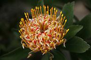 A tropical flower on Maui's Mt. Haleakala.
