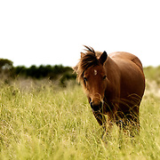 Wild horses graze on sea oats along Shackleford Banks in Beaufort, North Carolina. Photos By Jeff Janowski Photography