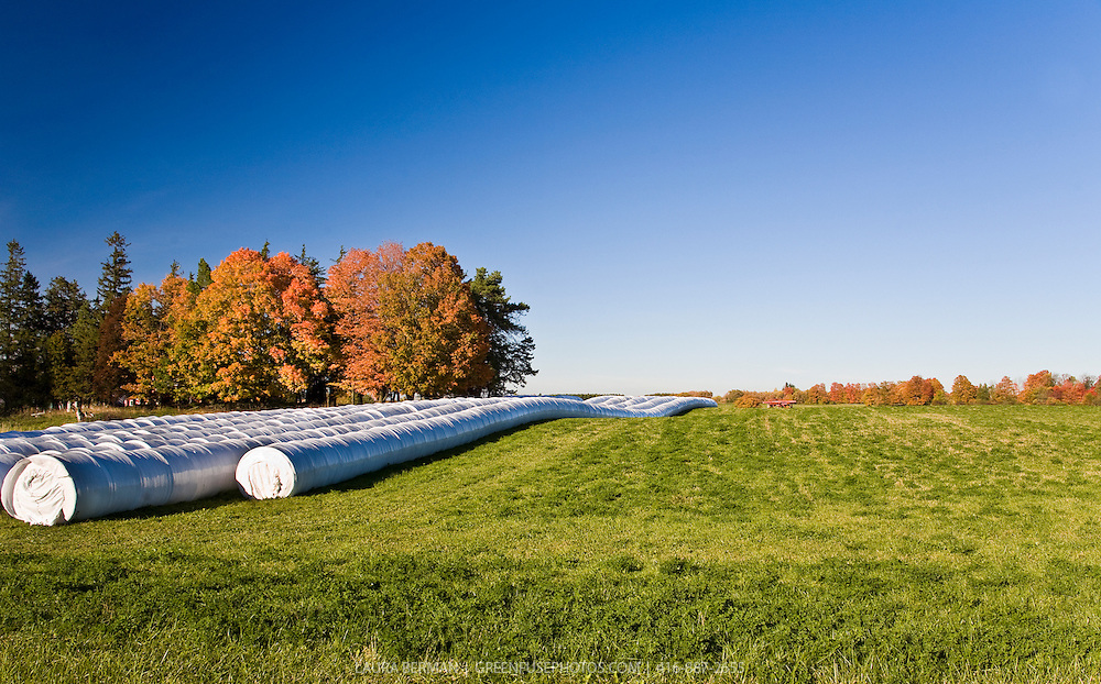 A farm field and trees with autumn foliage under a bright, clear blue sky. Long cylindrical bales of hay, wrapped in white plastic stretch to the horizon.