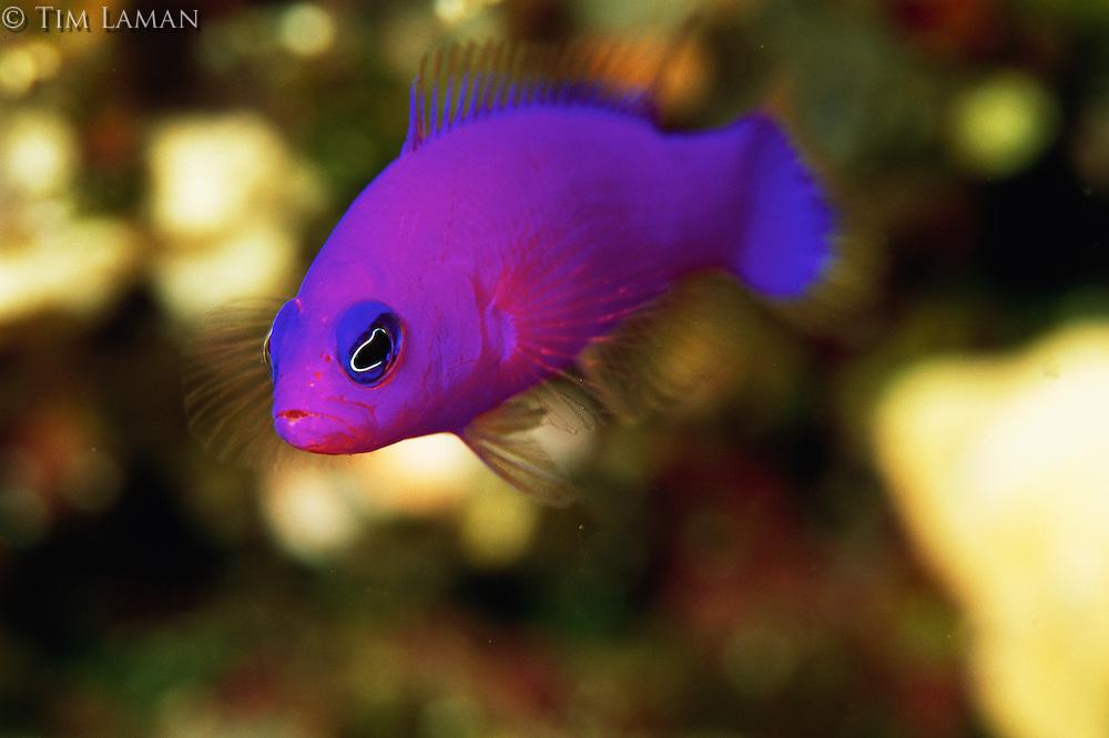 A strikingly colorful magenta dottyback fish.