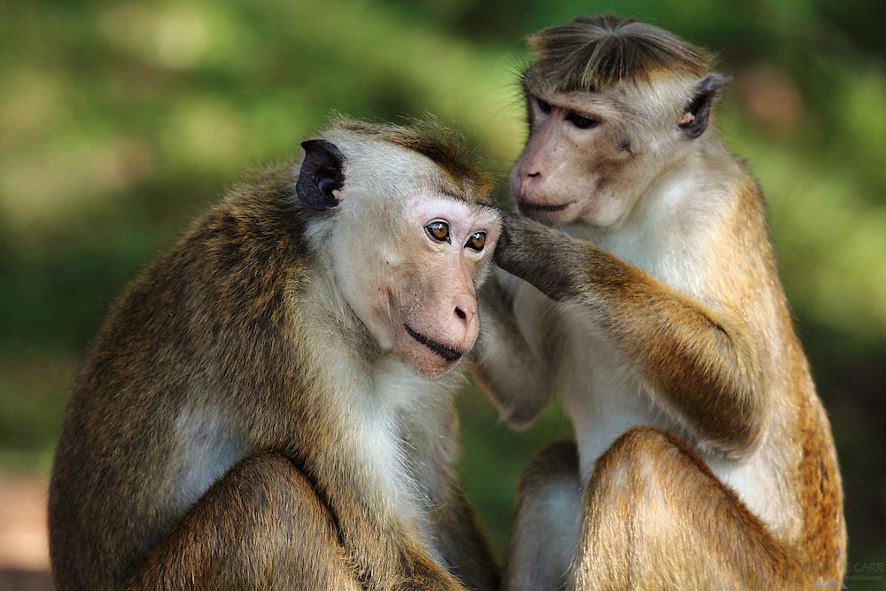 Macaque Monkeys preening at Sigiriya in Sri Lanka
