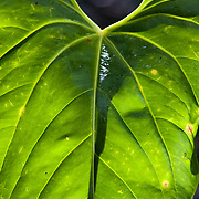 anthurium leaf, backlit, Talamanca Mountain, south of San Jose, Costa rica.