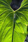 anthurium leaf, backlit, Talamanca Mountain, south of San Jose, Costa rica.