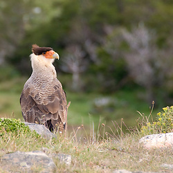 A young Caracara searches the ground for prey while keeping a wary eye on a nearby trail on Monte Almirante Nieto.