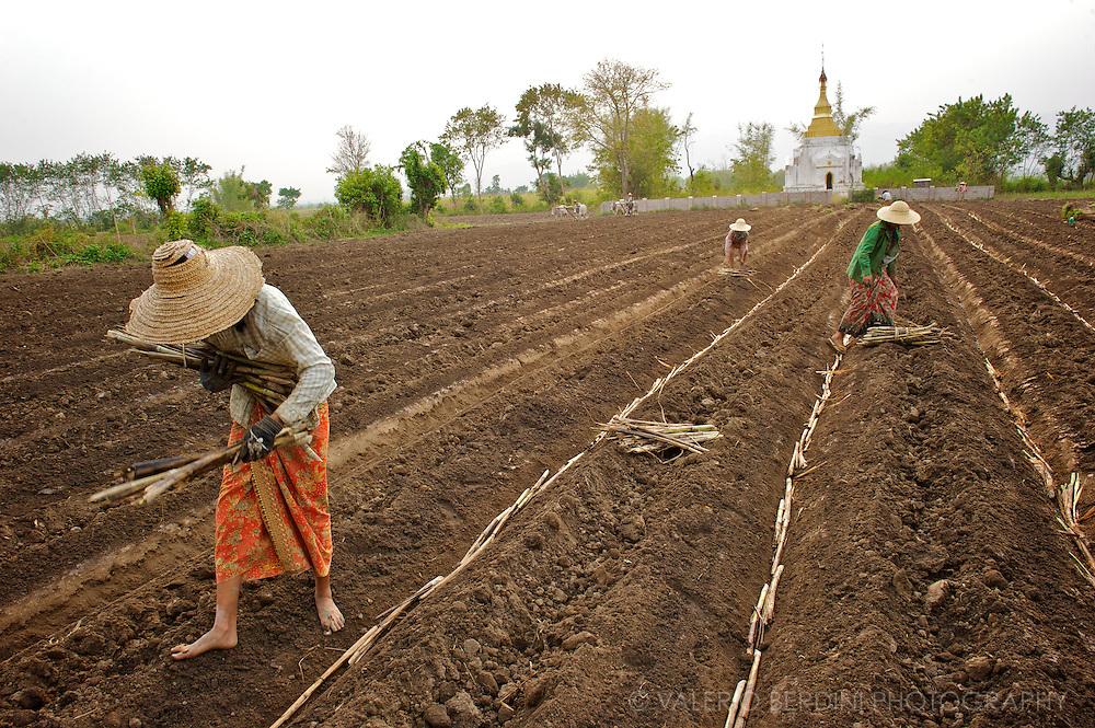 Farmers follow the plough posing sugarcane stems in the furrows.