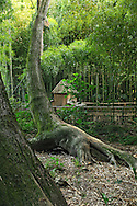 France, Languedoc Roussillon, Gard, Cevennes, Anduze, Prafrance, La Bambouseraie, arbre, Thuja plicata