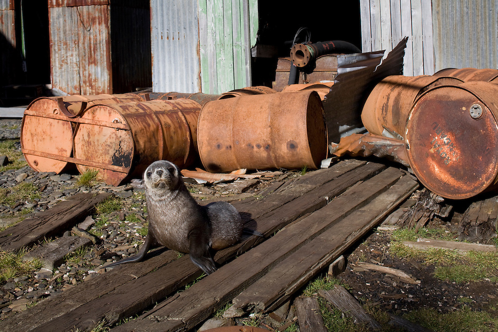 Antarctica, South Georgia Island (UK), Antarctic Fur Seal (Arctocephalus gazella) standing among decaying buildings in remains of abandoned whaling station at Leith Harbour