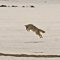 Coyote Going for the Kill<br /> Wyoming