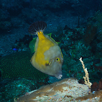 A Whitespotted Filefish on the south coast reefs of the Dominican Republic.