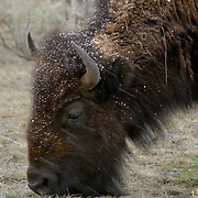 Bison in spring snowstorm, Lamar Valley, Yellowstone National Park, Wyoming.