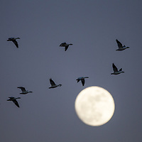 USA, New Mexico, Bosque del Apache National Wildlife Refuge, Flock of Snow Geese (Chenhyperborea hyperborea) flying past rising full moon at dusk on winter evening