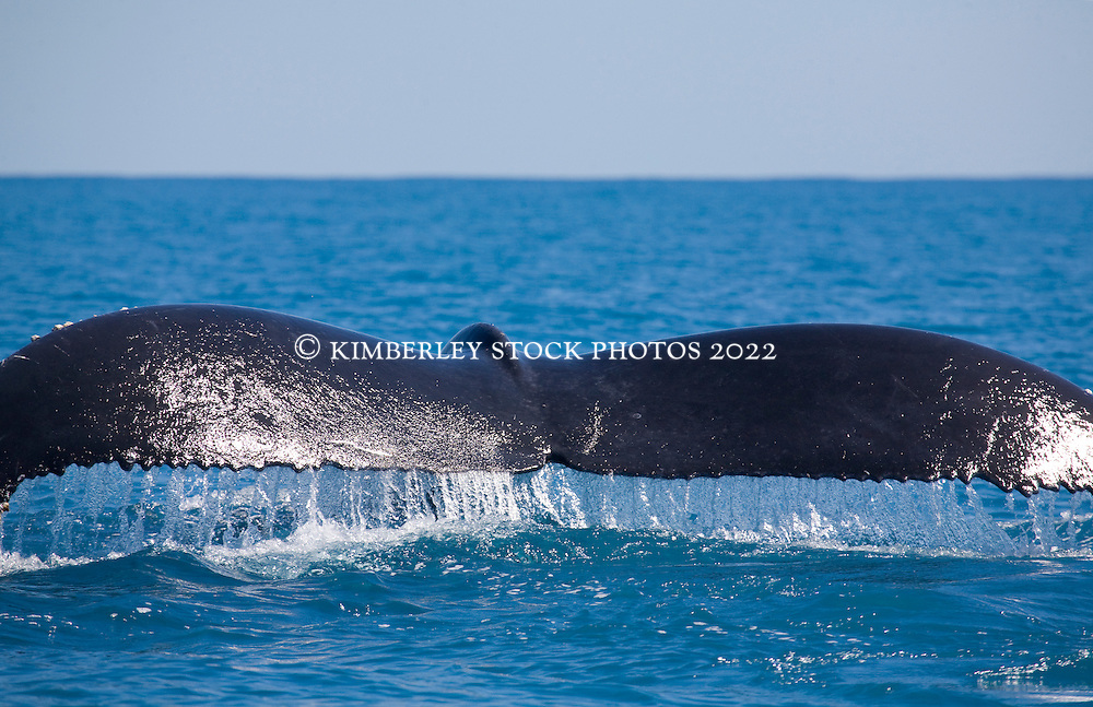 The distinctive trailing edge of a whale tail in Camden Sound.