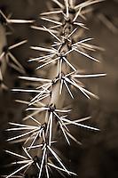 Paddle Cactus. Big Bend National Park, Texas.