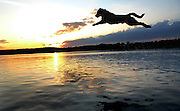 Yellow labrador retriever jumps into lake at sunset.