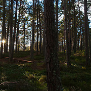 Early morning sunlight chinking through some healthy conifer forest in the Cairngorms, Scotland.