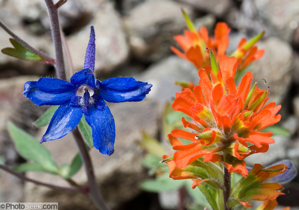 A deep blue flower of Olympic larkspur (Delphinium glareosum Greene) and orange-red Indian paintbrush (Castilleja) grow together on Big Quilcene Trail #833.1 near Marmot Pass in Buckhorn Wilderness, Olympic National Forest, Washington, USA.